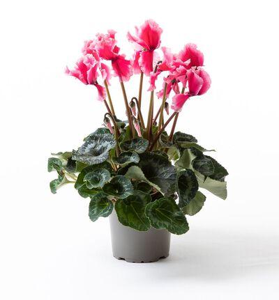 Alpefiol fuchsia rosa