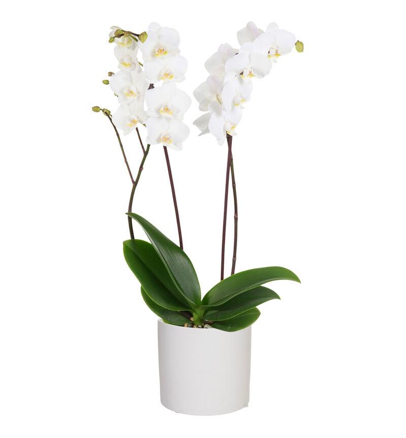 Hvit orkidé i hvit potte bildenummer 1